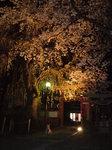 夜桜ライトアップと夜桜見物犬.JPG